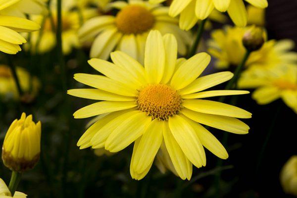 Arnica Flower Absolute