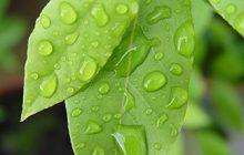 Bay Leaf Essential Oil (St. Thomas)