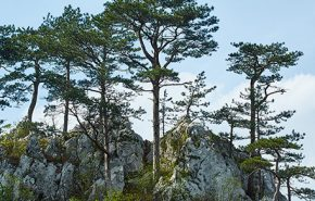 Black Pine ORGANIC Essential Oil