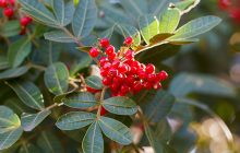 Brazilian Pepper Berries CO2 (SELECT)