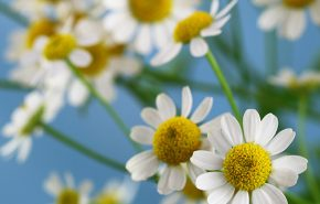 Chamomile Blue CO2 (SELECT)