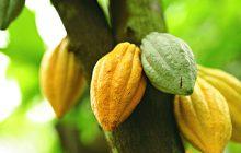 Cacao Assoluta