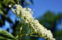Elderflower CO2 ORGANIC (SELECT)