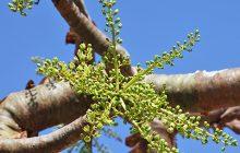 Frankincense Serrata CO2 (SELECT)