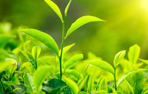 Green Tea Absolute 50% in DPG