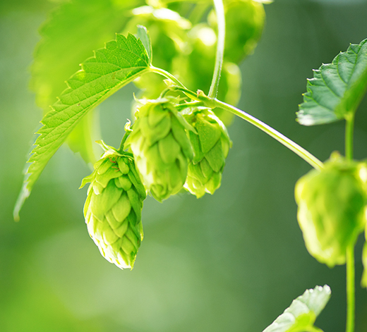 Hop English Essential Oil