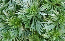 White Ice Wormwood Essential Oil