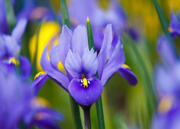 Iris Essential Oil/Butter (8% Irones)