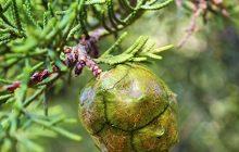 Jade Cypress CO2