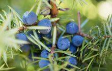 Juniper Berries Essential Oil
