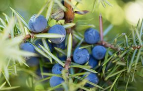Juniper Berries Essential Oil