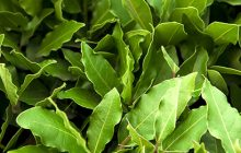 Laurel Leaf Essential Oil (Sweet Bay)