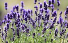 Lavender 40/42% Essential Oil
