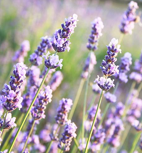 Lavender AOC Essential Oil