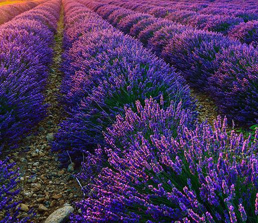 Lavender Bulgarian Essential Oil