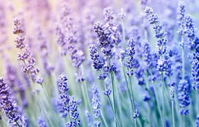 Lavender English Essential Oil
