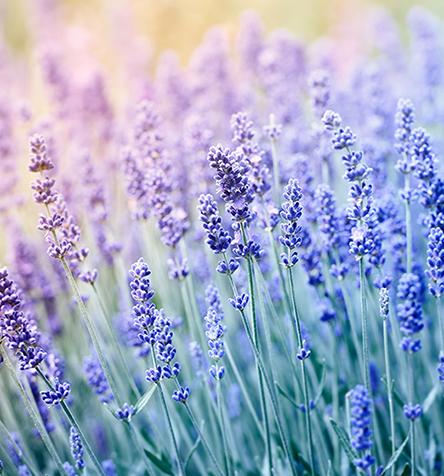 Lavender English Essential Oil
