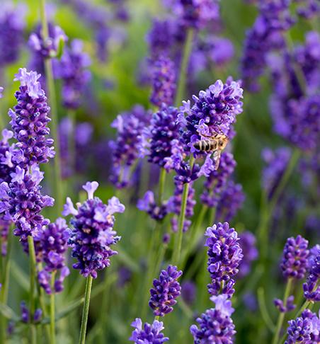 Lavender Sweetie Dalmation