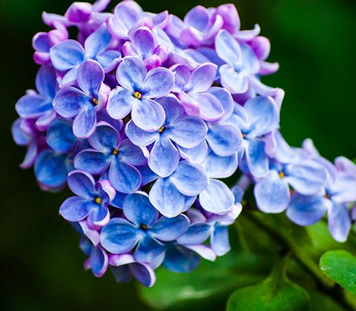 Lilac CO2 ORGANIC (TOTAL)