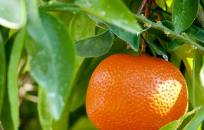 Mandarin Essential Oil RED