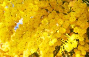 Mimosa Olessence Flowers