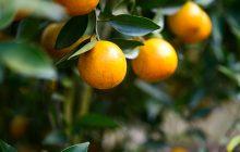 Oranger Brouts Assoluta