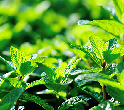 Peppermint CO2 (SELECT)