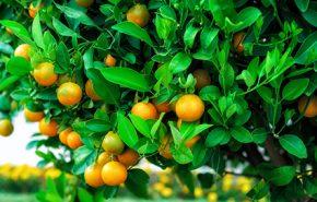 Petitgrain Mandarinier Essential Oil
