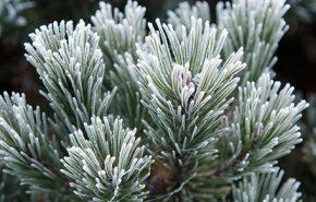 Pine Essential Oil SIBIRICA