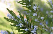Rosemary CO2 - Cineole Type (SELECT)