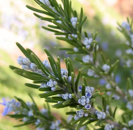Rosemary CO2 - Cineole Type (SELECT)