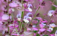 Clary Sage Absolute RUSSIAN