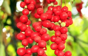 Schisandra Berries CO2 (TOTAL)