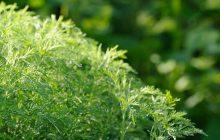 South African Artemisia ORGANIC Essential Oil