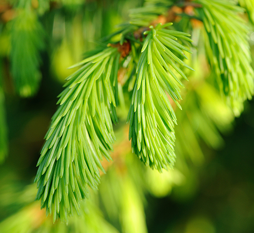 Spruce ABIES Essential Oil