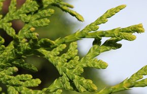 Cedar Leaf WILD CRAFTED