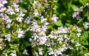 Thyme White ORGANIC Essential Oil
