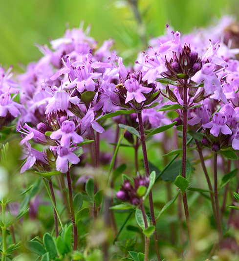 Thyme Serpolet WILD CRAFTED Essential Oil
