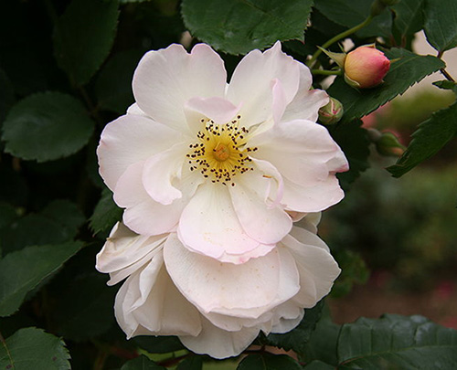 White Rose CO2 ORGANIC (SELECT)