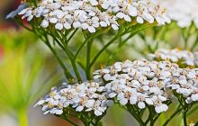 Yarrow ORGANIC Essential Oil S.A