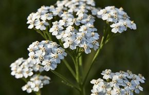 Yarrow CO2 ORGANIC (TOTAL)