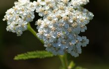 Yarrow Essential Oil ENGLISH (BLUE)