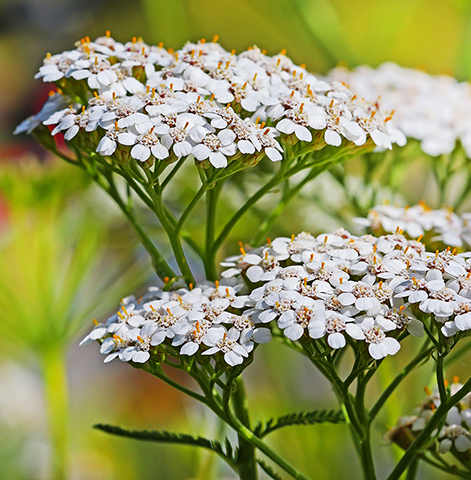 Yarrow Essential Oil BULGARIAN (YELLOW)