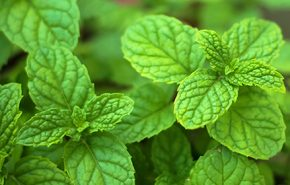 Bergamot Mint WILD CRAFTED