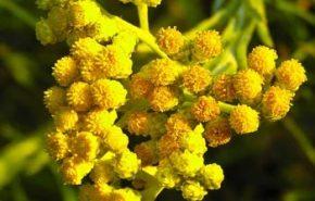 Helichrysum Italicum CROATIA