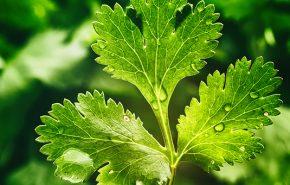 Coriander Leaf (Cilantro) Essential Oil
