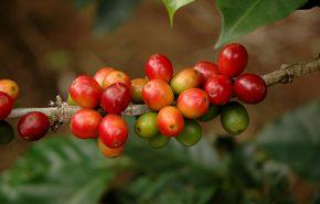 Coffee Italian Tincture 20%