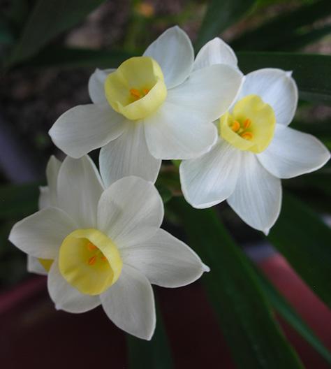 Daffodil Tazetta Extrait from Enfleurage