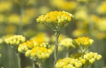 Helichrysum Abs MD