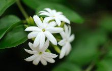 Gelsomino assoluta (Jasminum officinale)